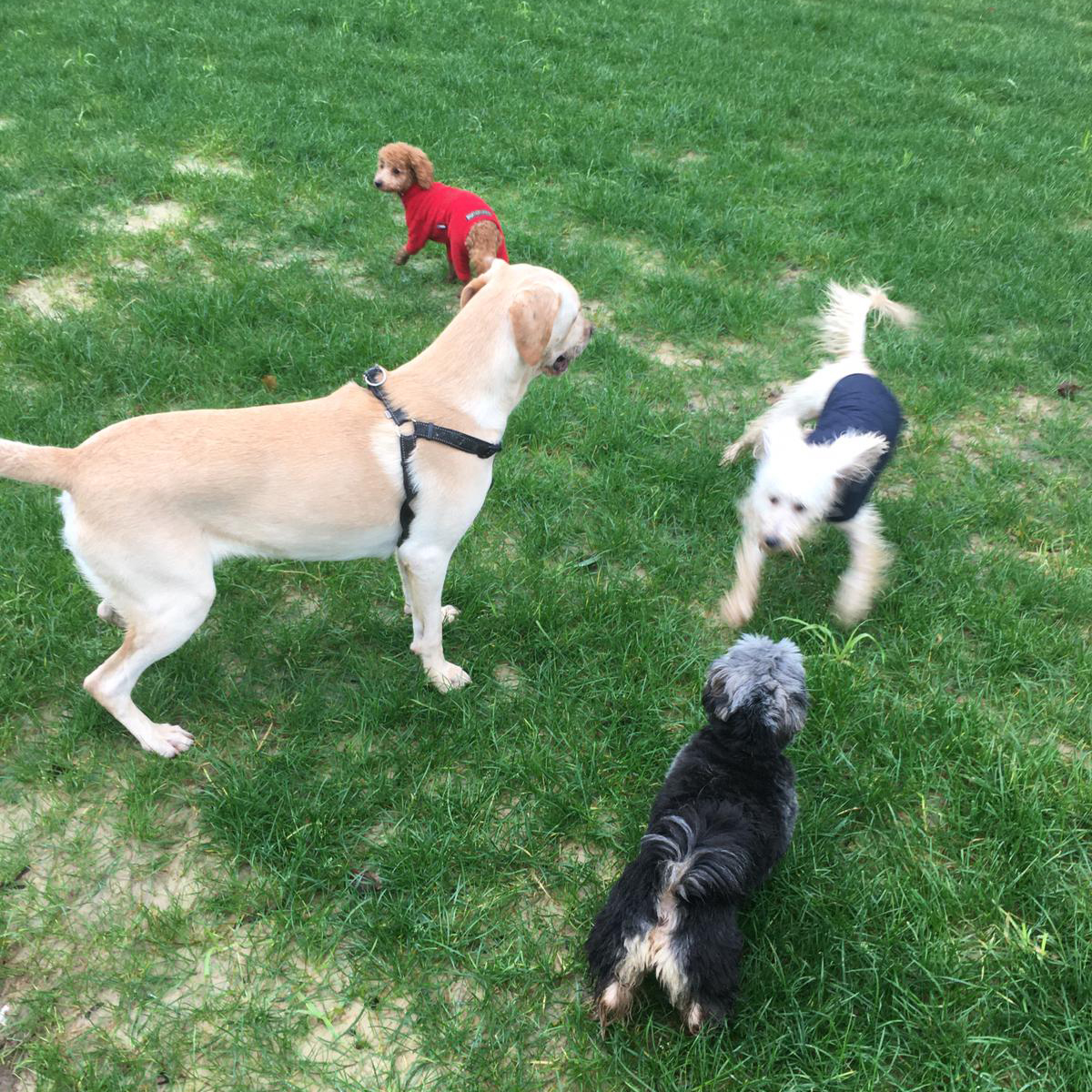dogs having fun at daycare in croydon field
