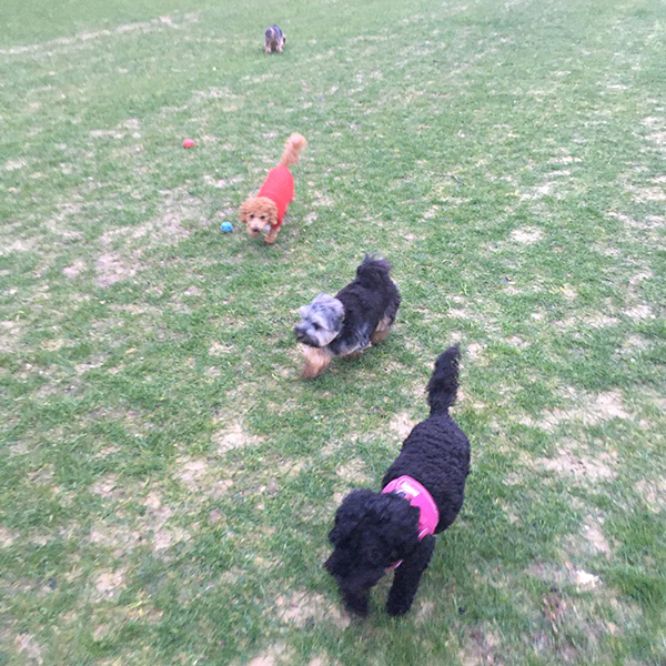 dog daycare for small dogs croydon